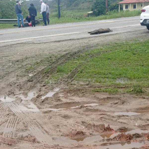 Motociclista atropela javali próximo a escola infantil no litoral paulista