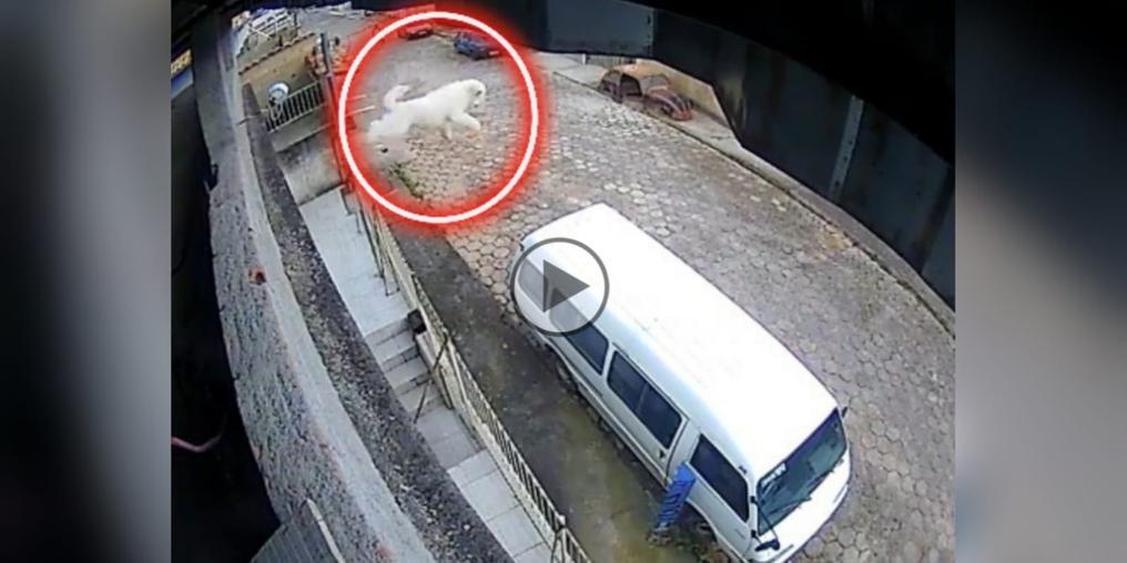 Cachorro pula de sacada e sobrevive milagrosamente (Portal Costa Norte)